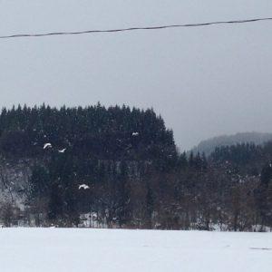 雪の中を舞う白鳥
