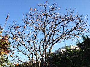 鳥のために残した柿