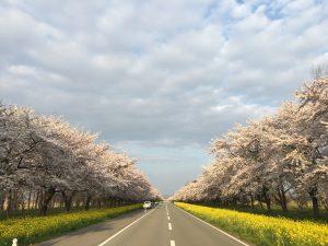 大潟村の桜と菜の花