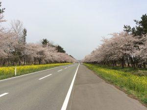 大潟村桜と菜の花